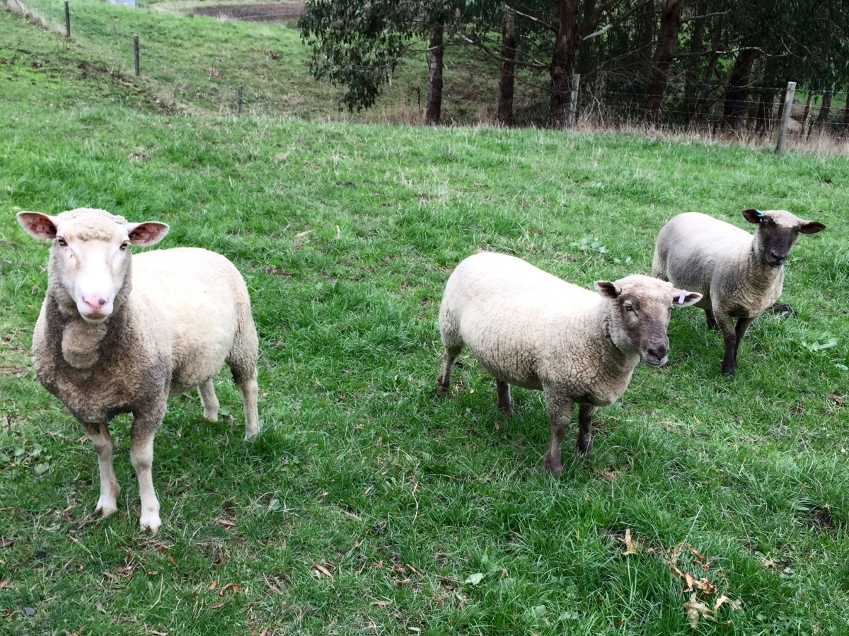 Sheep at SoggyBottom Homestead