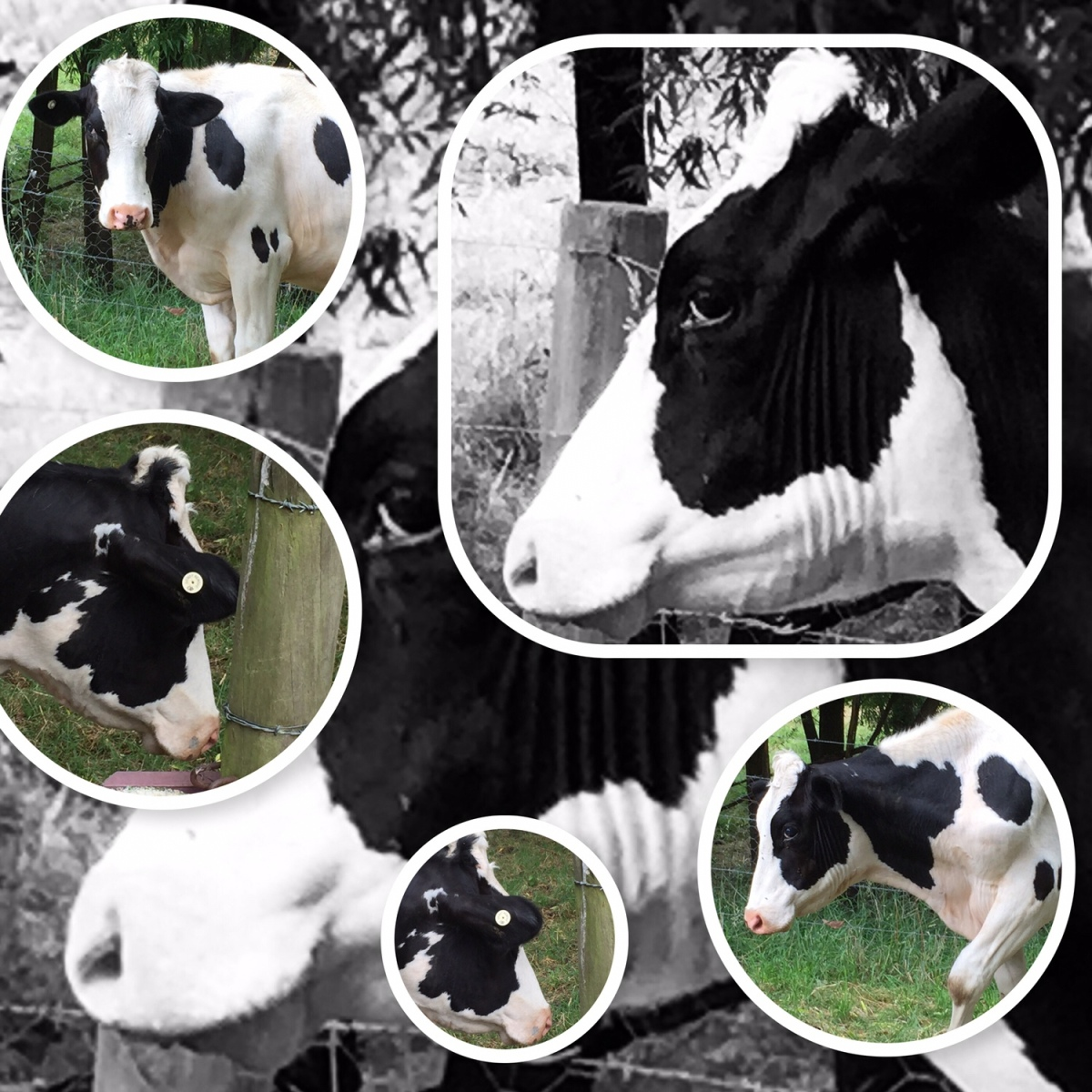 The Day We Lost Our Neighbour'sHerd