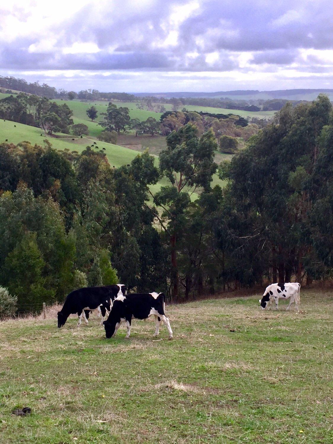 Steers grazing in our paddock